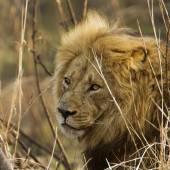 Oroszlán a Kruger Nemzeti park