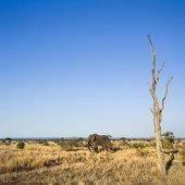 Afrikai elefánt a Kruger Nemzeti park
