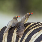 Piroscsőrű szövőmadár a Kruger Nemzeti park