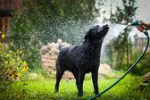 Labrador pes na povaze