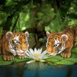 Постер, плакат: Two tigers sniffing lotus