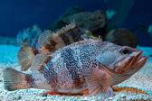 Blackbelly Rosefish pod vodou zblízka portrétní potápění