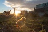 Brütenden Henne und Küken in einer farm
