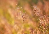 Suchý Sveřep inermis tráva