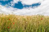 A wheat field with poppies flowering in early summer