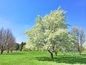 V jarní zahradě Bílý Kvetoucí strom