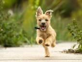 Cairn teriér štěně