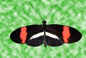 Crimson oprava longwing motýl
