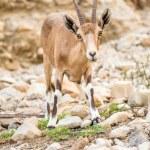 Постер, плакат: Young wild goat Capra in Middle East