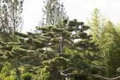 Japonská černá borovice Pinus Thunbergův
