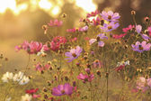 Pink and violet Cosmos flowers