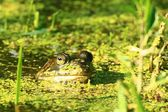 Frog poking head out of pond water.