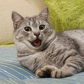 Nagyon fáradt macska a kanapéra, macska, tátott szájjal, az életlenítés háttér, macska portré közelről, csak fej termés, tátongó macska közel akár az életlenítés háttér, vicces macska, pihentető macska, kíváncsi macska, macska, tátott szájjal