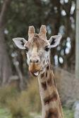 Giraffe (Giraffa camelopardalis) poking out its tongue