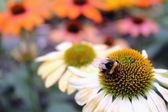 Ügyetlenkedik méh Echinacea virág