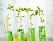 Piante geneticamente modificate. Piantare le piantine che crescono allinterno di provette