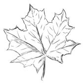 Vector Single Sketch Maple Leaf