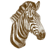Engraving antique vector illustration of zebra head isolated on white background