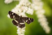 Tmavě hnědé s bílými skvrnami motýl na bílý květ