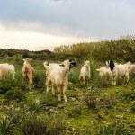 ������, ������: Goats in Turkey