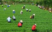 Crowd Vietnamese farmer tea picker  on plantation