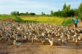 Asiatische Bauern, Herde von Ente, vietnamesischen Dorf