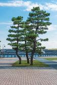 Japonský strom v parku yokohama