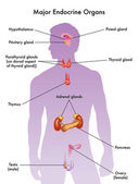 Illustrazione vettoriale del sistema endocrino umano su priorità bassa bianca