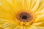 žlutá chryzantéma na bílém pozadí