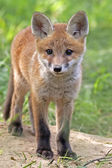 Junger Fuchs in freier Wildbahn