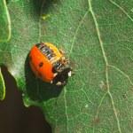 ������, ������: Injured Ladybug