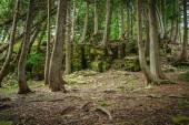 Cedar Forest In Northern Michigan