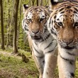 Постер, плакат: Curious tigers in the forest