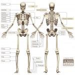 Постер, плакат: A diagram of the human skeleton