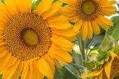 Zavřete oříznutého obrazu ze dvou velkých slunečnice