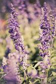 Beautiful Lavender Flower Field. Growing and Blooming with vinta