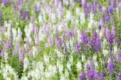 Květinku Levandulová pole. Roste a kvete
