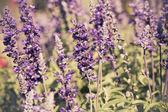 Beautiful Lavender Flower Field. Growing and Blooming.