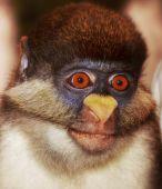 Kočkodana Dianin opice