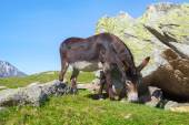 Black donkey feeds
