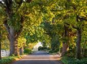 Old oak trees lane in sunset ligh
