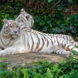 Постер, плакат: White tigers in nature
