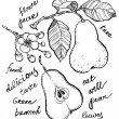 Постер, плакат: Hand drawing pear collection