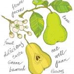 Постер, плакат: Hand drawing pear collection