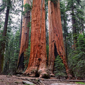Ancient Giant Sequoias Forest in California, United States. Sequoia National Park