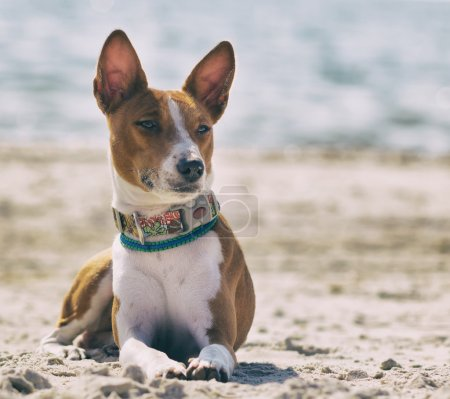 Basenji dog on the seashore. Sunny day. Sand beach