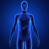 Il pancreas è un organo ghiandolare nel sistema digestivo e sistema endocrino dei vertebrati