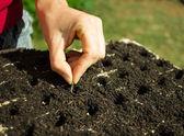 Semi di donna mano piantare il cassetto di germinazione