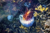 Medúzy, seydisfjordur iceland20