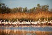 Herde von flamingos